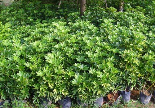 海南常绿灌木