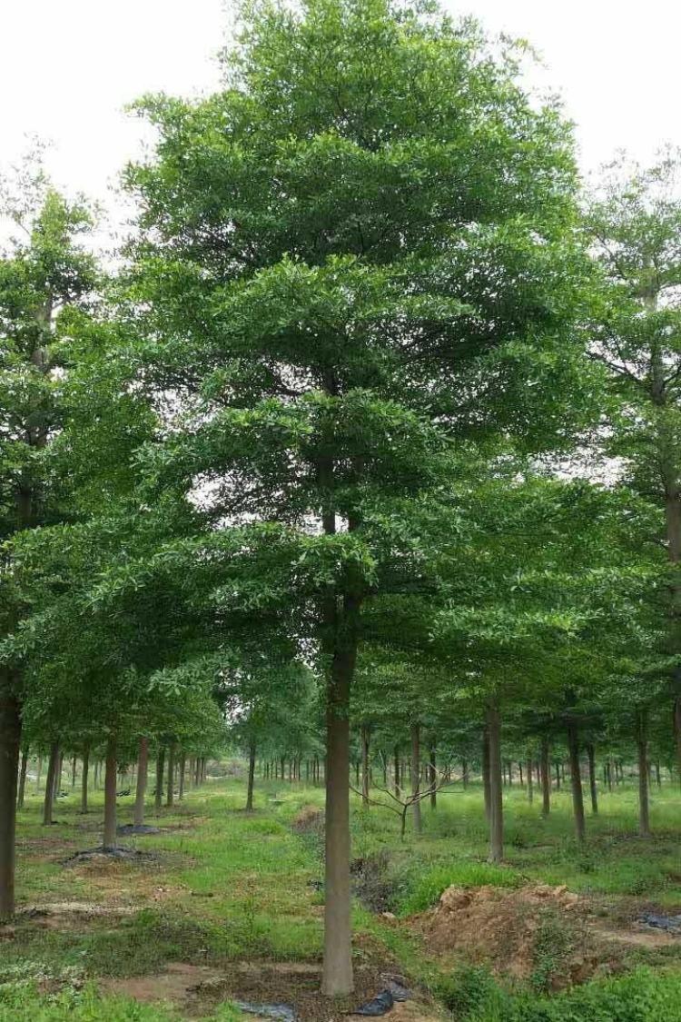 园林绿化树苗小叶榄仁.jpg